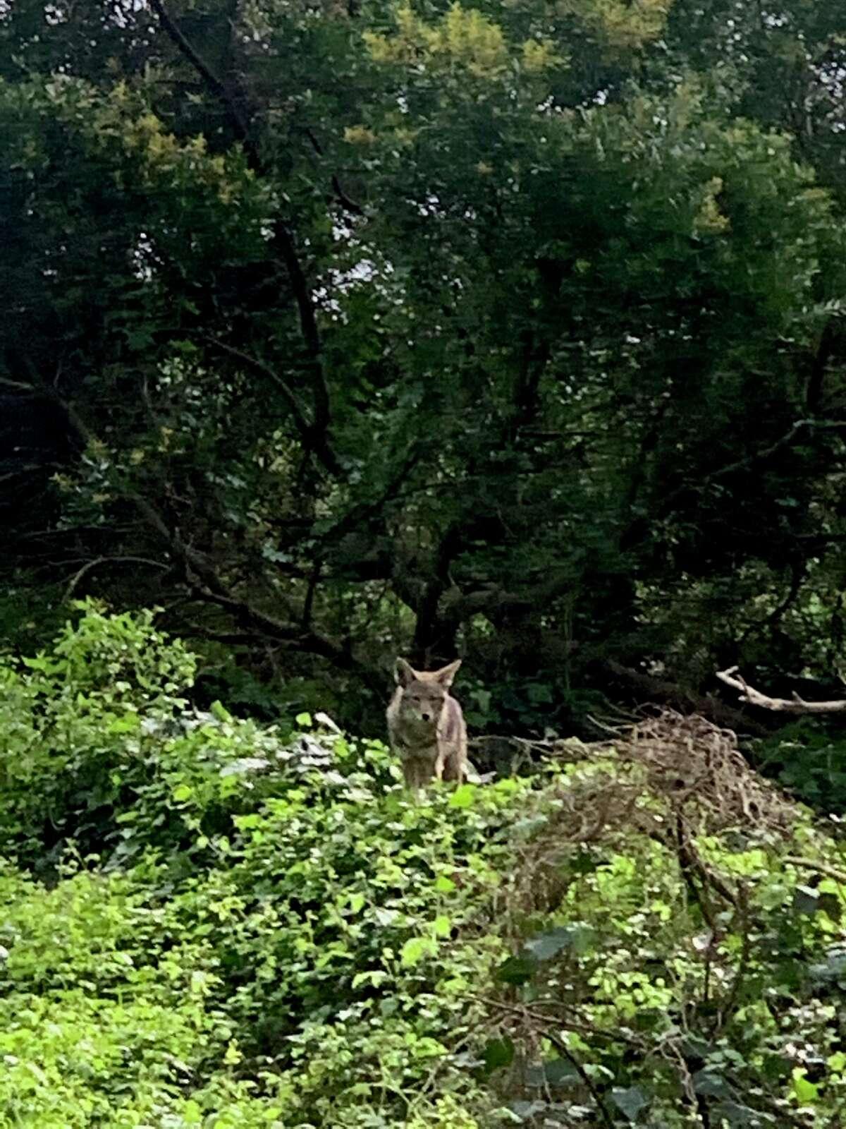 A coyote in Buena Vista Park, San Francisco