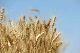 Wheat kernels stand in a field against a blue sky during the summer harvest on a farm in Rostov, Russia.