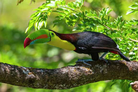 The Keel-billed toucan was not the most riveting bird on a recent trip to Costa Rica despite its size and colorful beak. Photo Credit: Kathy Adams Clark Restricted use.