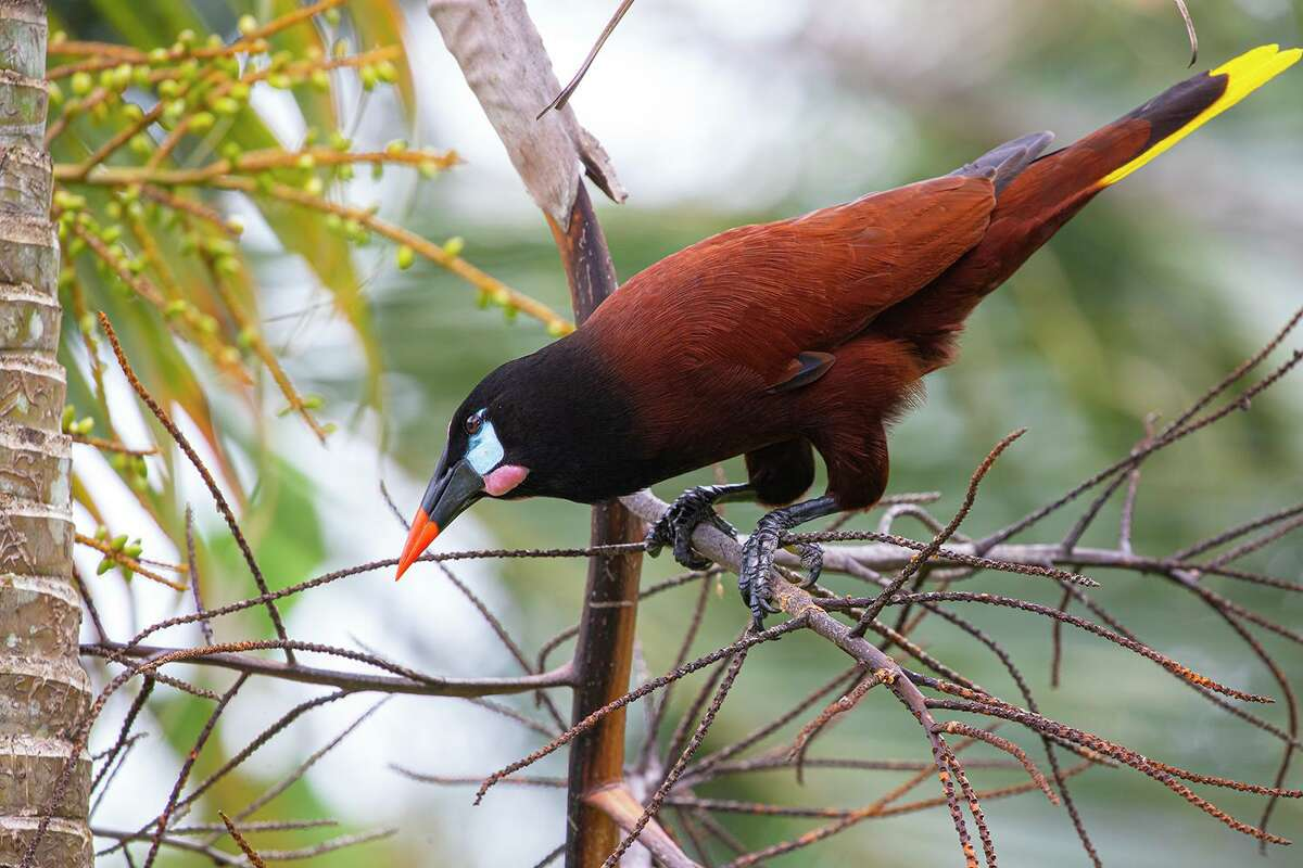 The Montezuma oropendola was not the most riveting bird on a recent trip to Costa Rica despite its size and flashy colors.