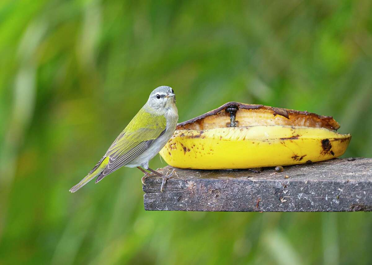 Tennessee warbler feeding at a banana feeder in Costa Rica. This bird will fly 1500-miles to its breeding grounds in North America in the next few weeks.