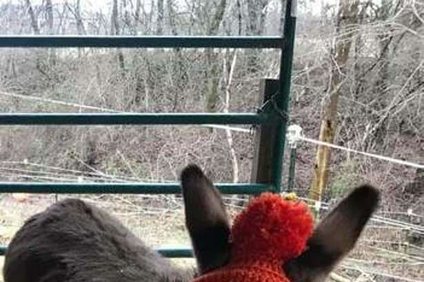 """Candidate Junie, a donkey, is already a bit of a celebrity. She's a retired ambassador for the Humane Society's Longmeadow Rescue Ranch, in Union, Missouri, and she's been featured on the """"Today"""" show! Junie's owner is Jaynie Doerr."""