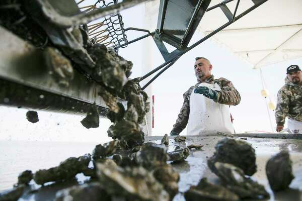 Clusters of oysters pulled up by Prestige Oysters demonstrate as they harvest oysters in Galveston Bay on Thursday, Feb. 27, 2020. The oyster population in Galveston Bay is experiencing a severe decline, in part due to a series of severe storms and flooding that has stressed oyster beds and the quantity of oysters available to harvest.