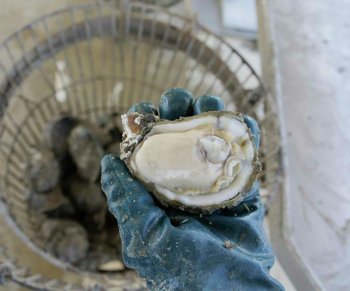 Jaime Martinez shows an oyster from Galveston Bay on Thursday, Feb. 27, 2020. The oyster population in Galveston Bay is experiencing a severe decline, in part due to a series of severe storms and flooding that has stressed oyster beds and the quantity of oysters available to harvest.