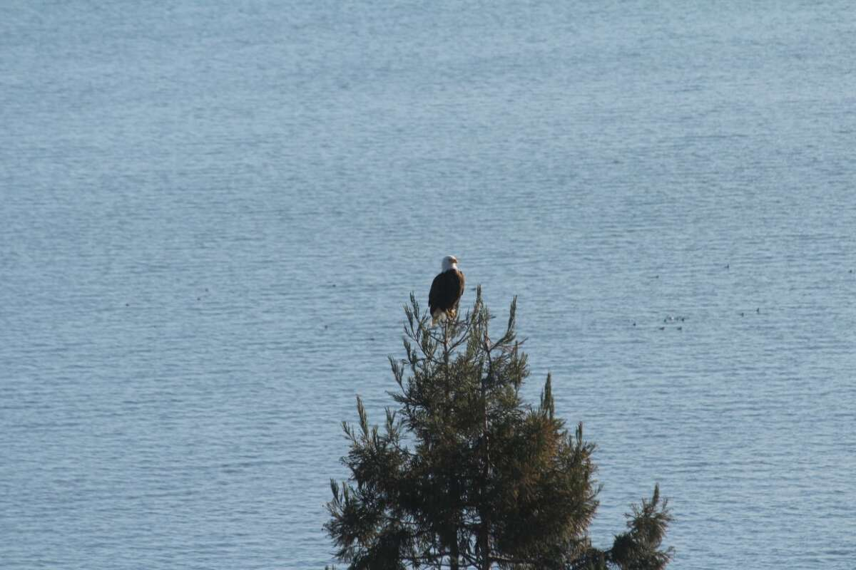 MarinCounty resident GregoryChiateshared a photo of a bald eagle perched on a conifer just outside of his bedroom window. The species has been making a comeback, according to Shannon Burke, an interpretive naturalist withMarinCounty Parks.