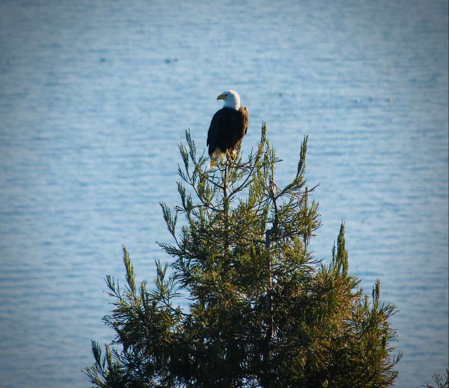 Marin County resident Gregory Chiate shared a photo of a bald eagle perched on a conifer just outside of his bedroom window. The species has been making a comeback, according to Shannon Burke, an interpretive naturalist with Marin County Parks. Photo: Gregory Chiate