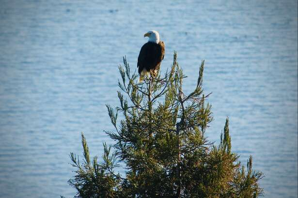 Marin County resident Gregory Chiate shared a photo of a bald eagle perched on a conifer just outside of his bedroom window. The species has been making a comeback, according to Shannon Burke, an interpretive naturalist with Marin County Parks.