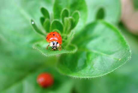 Ladybugs, left, will control aphids, below, which are showing up on milkweed and other plants. Until the ladybugs arrive, remove aphids with a spray of plain water. This is preferable to using an insecticide.