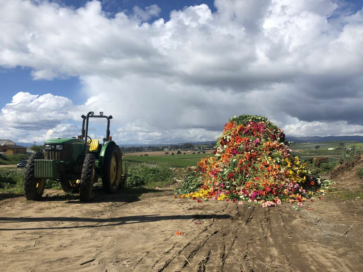 Thousands of Gerber daisies are destined for disposal at a Watsonville farm working in partnership with Farmgirl Flowers. The local company was forced to compost $150,000 worth of flowers from farms across the Bay Area during shelter-in-place orders.