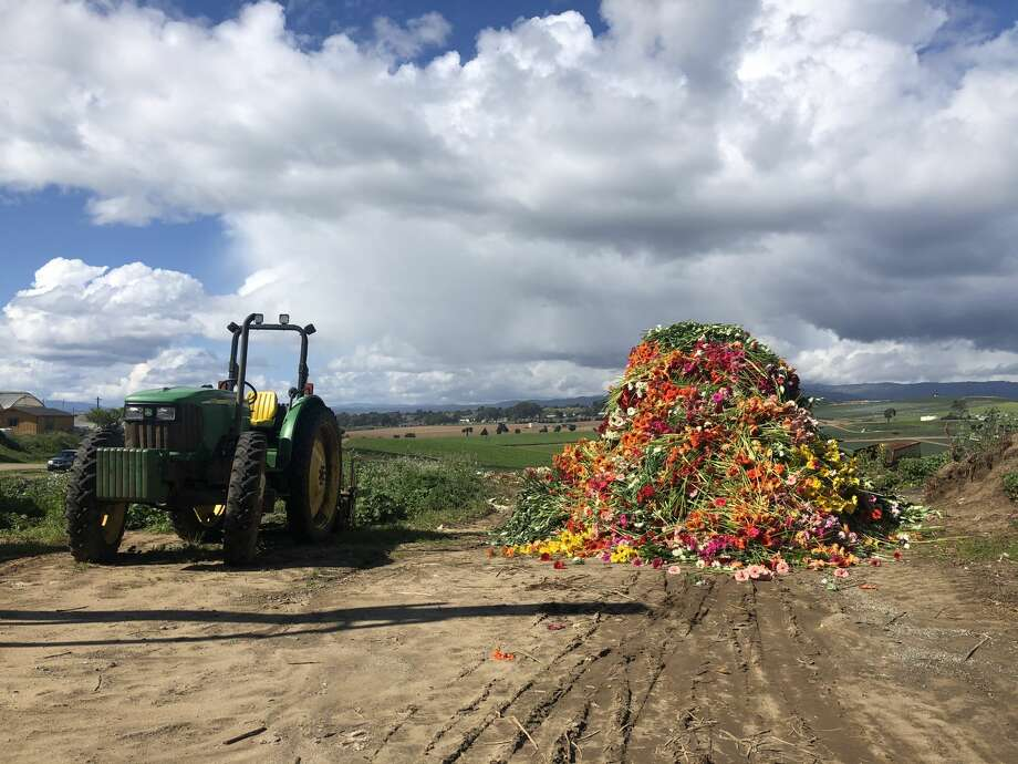 Thousands of Gerber daisies are destined for disposal at a Watsonville farm working in partnership with Farmgirl Flowers. The local company was forced to compost $150,000 worth of flowers from farms across the Bay Area during shelter-in-place orders. Photo: Farmgirl Flowers
