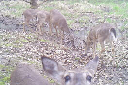 One of a group of deer seems more interested in taking a selfie than in dining with the others.