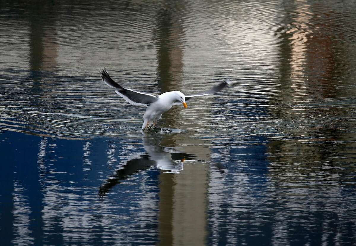 A seagull prepares to dive into Mission Creek to catch a fish in San Francisco, Calif. on Tuesday, March 31, 2020. A new study suggests that sea level rise could adversely affect Mission Creek's ecosystem and nearby infrastructure projects like the water pumping station and Caltrain tracks running along 7th Street.