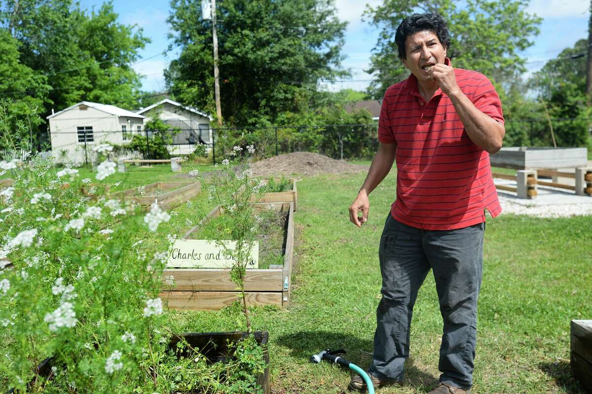 Jude Paredez snips off some cilantro to eat as he tends his daughter Bette's garden plots at Lamar University's South Park Community Garden Tuesday. Paredez says working solo in the garden, he went without the mask and gloves that he has usually been wearing when out in public among others. His daughter, a Lamar alumni, got involved in the garden three years after graduating with her nursing degree. She now works at Christus, where he says there are COVID-19 patients being treated.