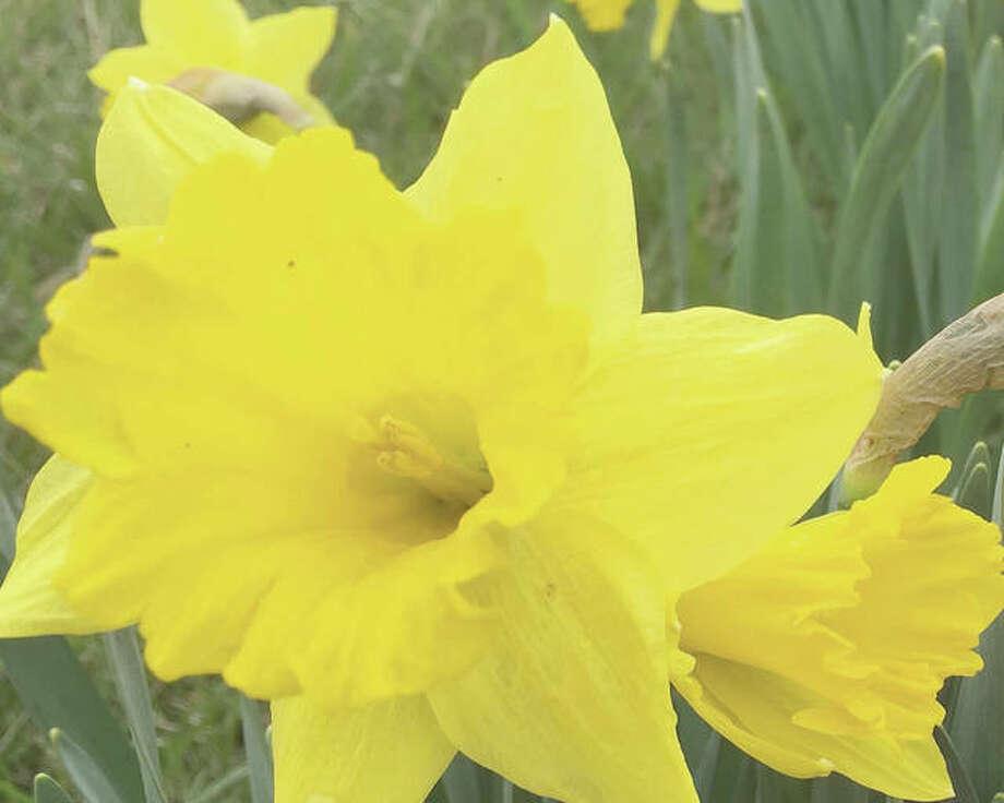 Spring daffodils bloom.