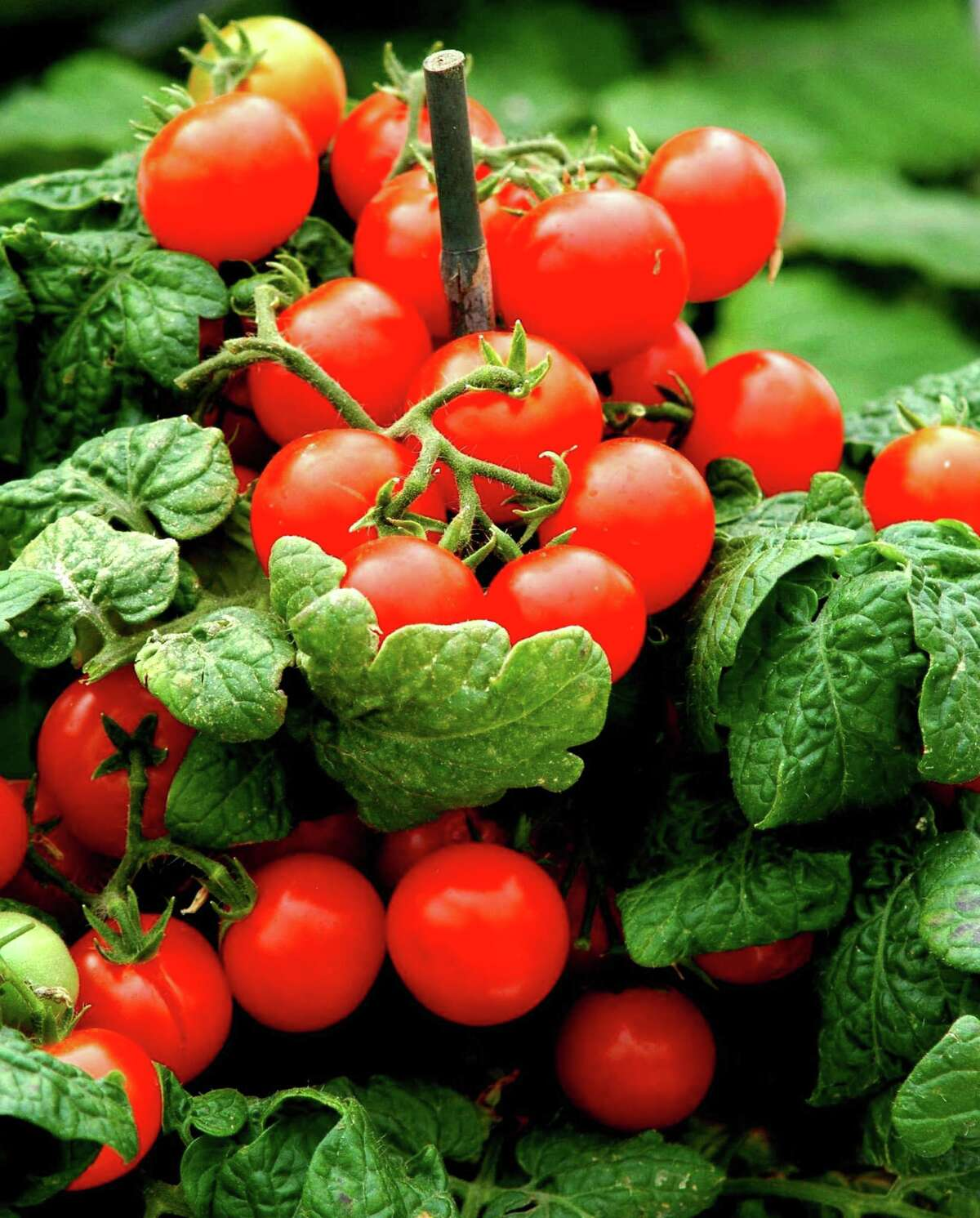 Sweet N Neat Scarlet tomato is one of the small-tomato varieties that works well on porch patio, deck or in garden.