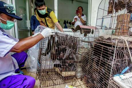 Health officials inspect bats to be confiscated and culled in the wake of coronavirus outbreak at a live animal market in Solo, Central Java, Indonesia, Saturday, March 14, 2020. For most people, the new coronavirus causes only mild or moderate symptoms, such as fever and cough. For some, especially older adults and people with existing health problems, it can cause more severe illness, including pneumonia. (AP Photo)
