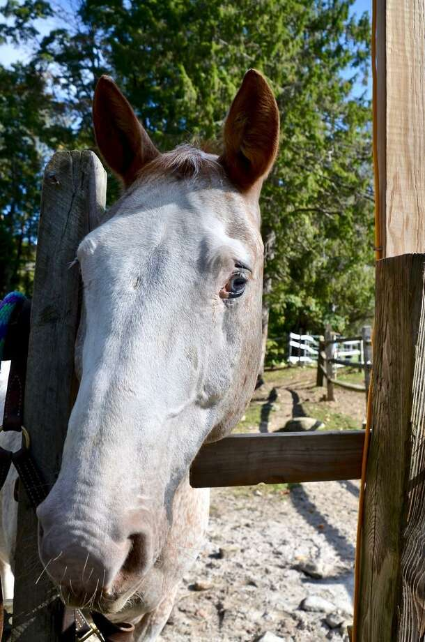 The rescue organization H.O.R.S.E. is celebrating Half-Pint's birthday with an outdoor party April 11, at the farm in Washington. Photo: Contributed Photo