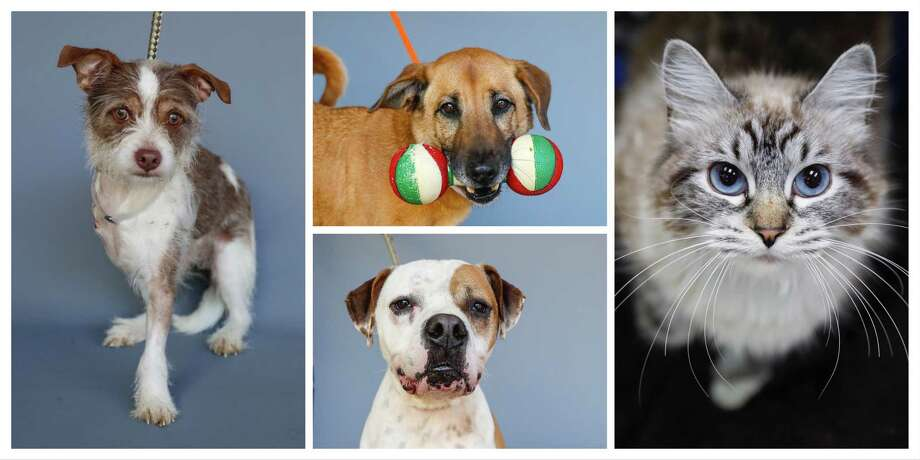 Clark (left: 43993546) is a 3-year-old, male, Terrier mix; Moochie (top: 43249795) is a 4-year-old, female, retriever mix; Rocky (bottom: 43351461) is a 4-year-old, male, Boxer and Seeka (right: 44016977) is a 6-year-old, female, Siamese cat all available for adoption from the Houston Humane Society, in Houston, Tuesday, March 31, 2020. Photo: Karen Warren, Staff Photographer / © 2020 Houston Chronicle