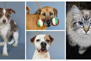 Clark (left: 43993546) is a 3-year-old, male, Terrier mix; Moochie (top: 43249795) is a 4-year-old, female, retriever mix; Rocky (bottom: 43351461) is a 4-year-old, male, Boxer and Seeka (right: 44016977) is a 6-year-old, female, Siamese cat all available for adoption from the Houston Humane Society, in Houston, Tuesday, March 31, 2020.