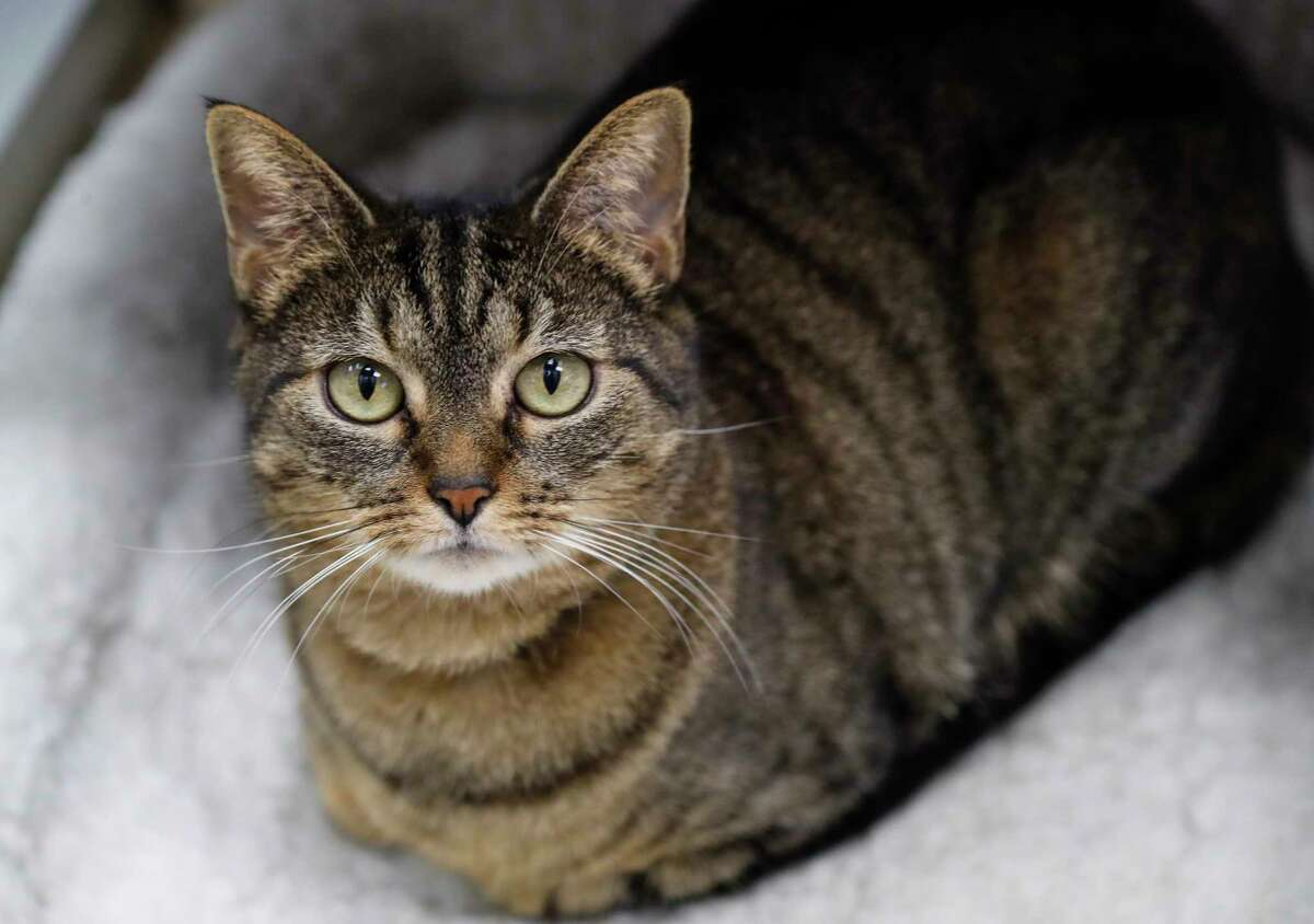 Solita (17947508) is a 7-year-old, female, brown tabby Domestic Shorthair cat available for adoption from the Houston Humane Society, in Houston, Tuesday, March 31, 2020. Solita was originally adopted out of the Houston Humane Society in November 2012, and was recently returned to the shelter because
