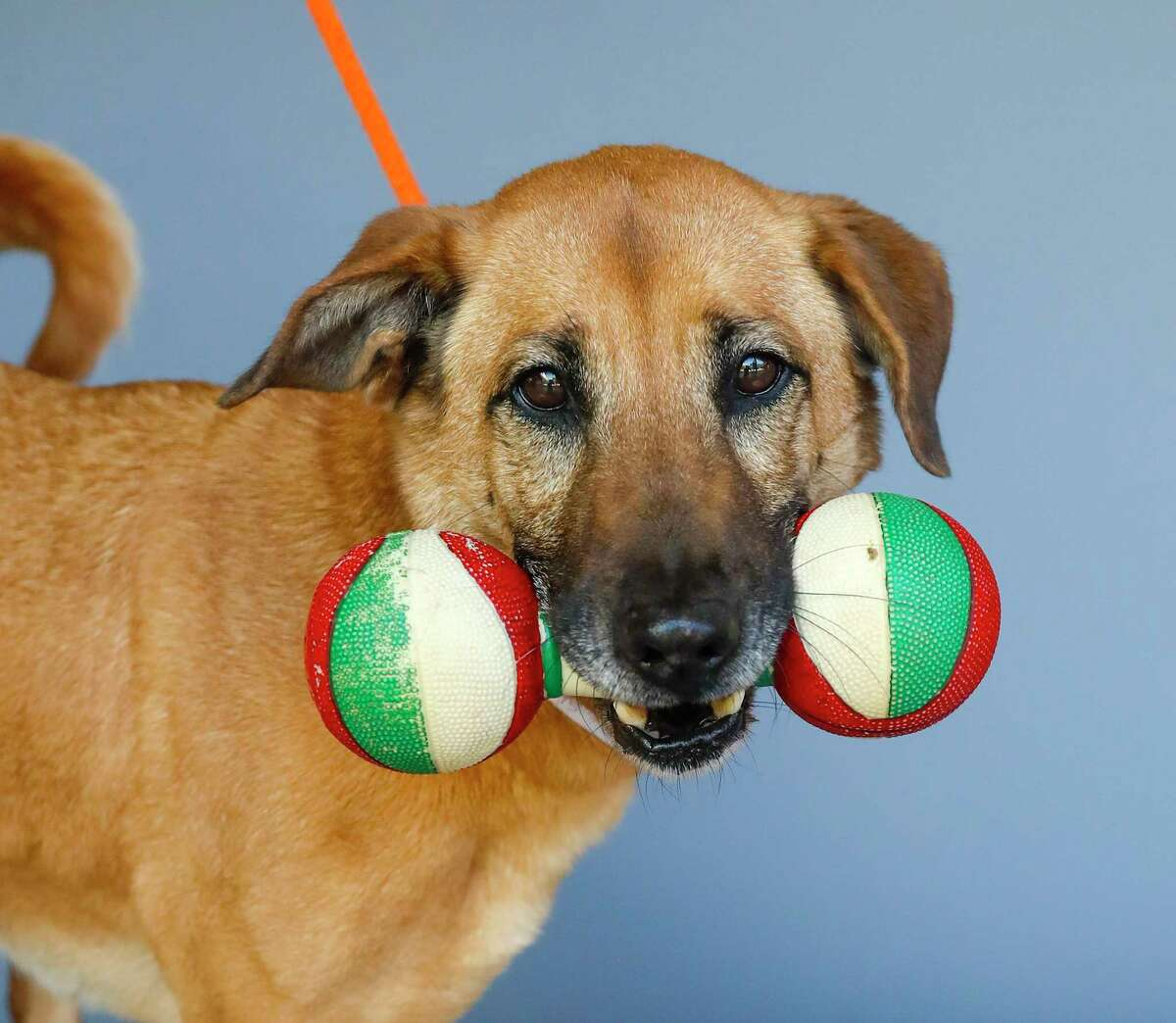 Moochie (43249795) is a 4-year-old, female, retriever mix available for adoption from the Houston Humane Society, in Houston, Tuesday, March 31, 2020. Moochie came into the shelter as an owner surrender after her owner passed away. When she was surrendered to the shelter, she came in with a special toy, given to her by her former owner, which rarely comes out of her mouth. She is a sweet dog who is heartworm positive, but her treatment is sponsored, and would be of no cost to anyone who adopts Moochie. Moochie was recently returned to the shelter, as it was determined that she would do better as the only animal in the household.