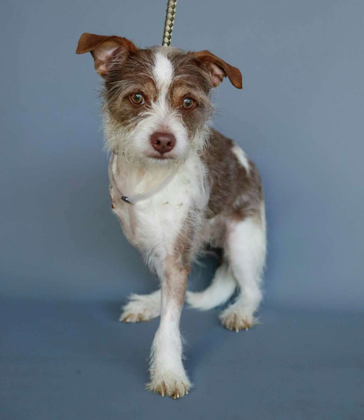 Clark (43993546) is a 3-year-old, male, Terrier mix available for adoption from the Houston Humane Society, in Houston, Tuesday, March 31, 2020. Clark was an injured stray, the person that found him requested euthanasia. However the Humane Society staff worked hard to save him and treated the injury, he is now waiting happily for a chance at a new beginning.