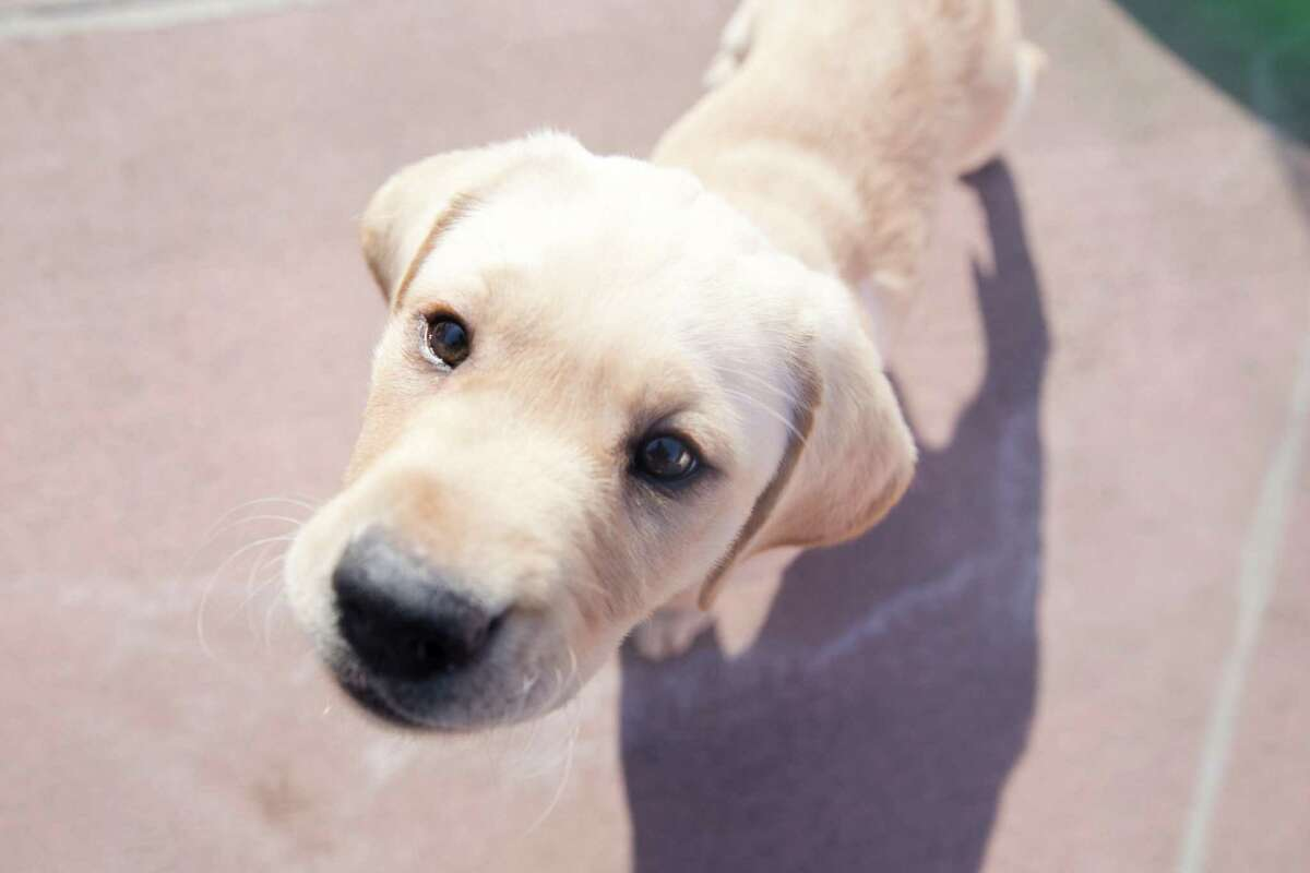 A young Labrador puppy dog approaches the camera during socialization training at the Guide Dogs for the Blind national headquarters in San Rafael, Calif. The puppies are in the first steps of their training to possibly become guide dogs for the blind.