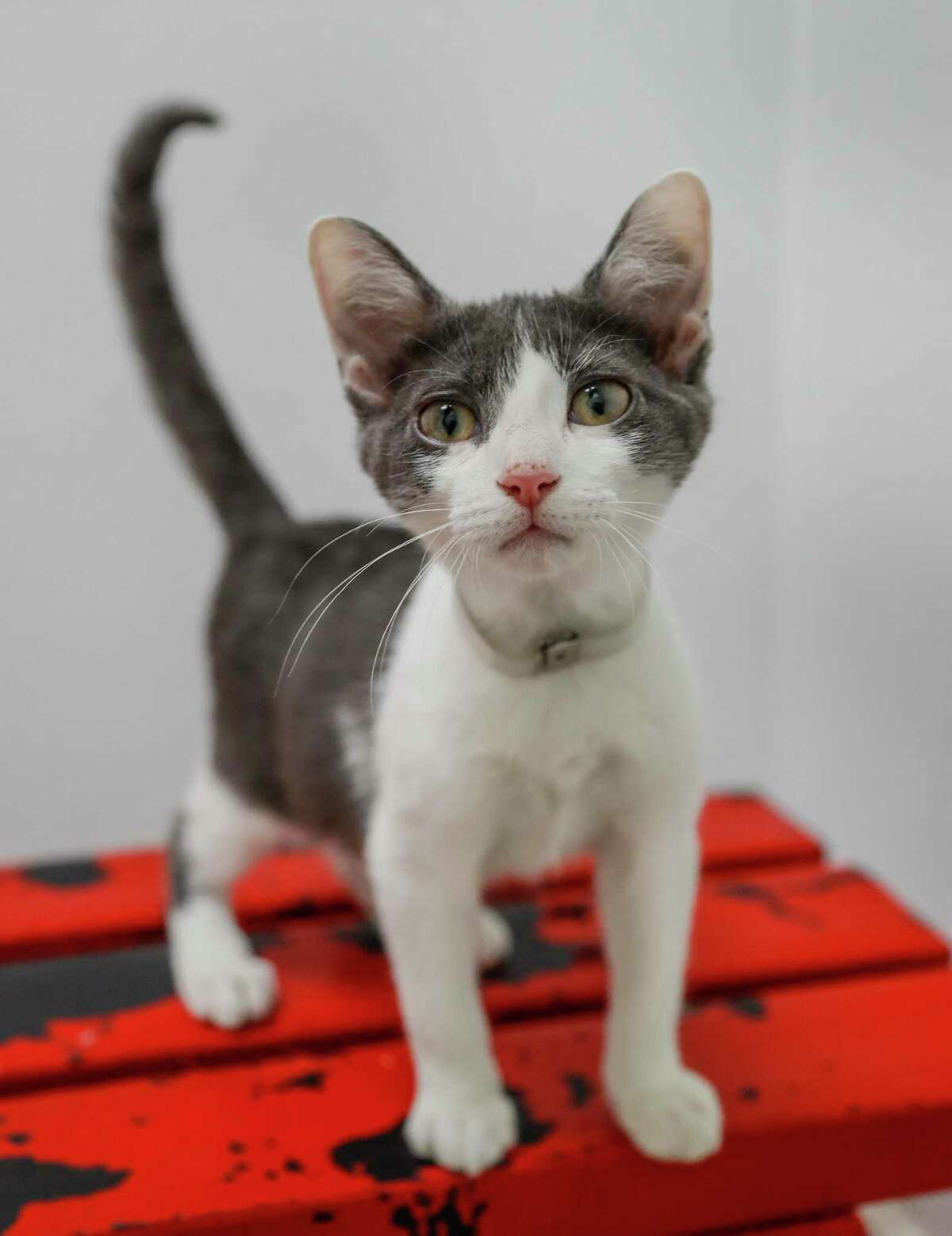 Thor is a 16-week-old, male, grey/white DSH kitten available for adoption at the Houston Humane Society, in Houston. (Animal ID: 41144838) Photographed Tuesday, July 9, 2019. Thor was brought in as a stray in May. He is very sweet, purrs like crazy, loves other cats, and loves to be cuddled.