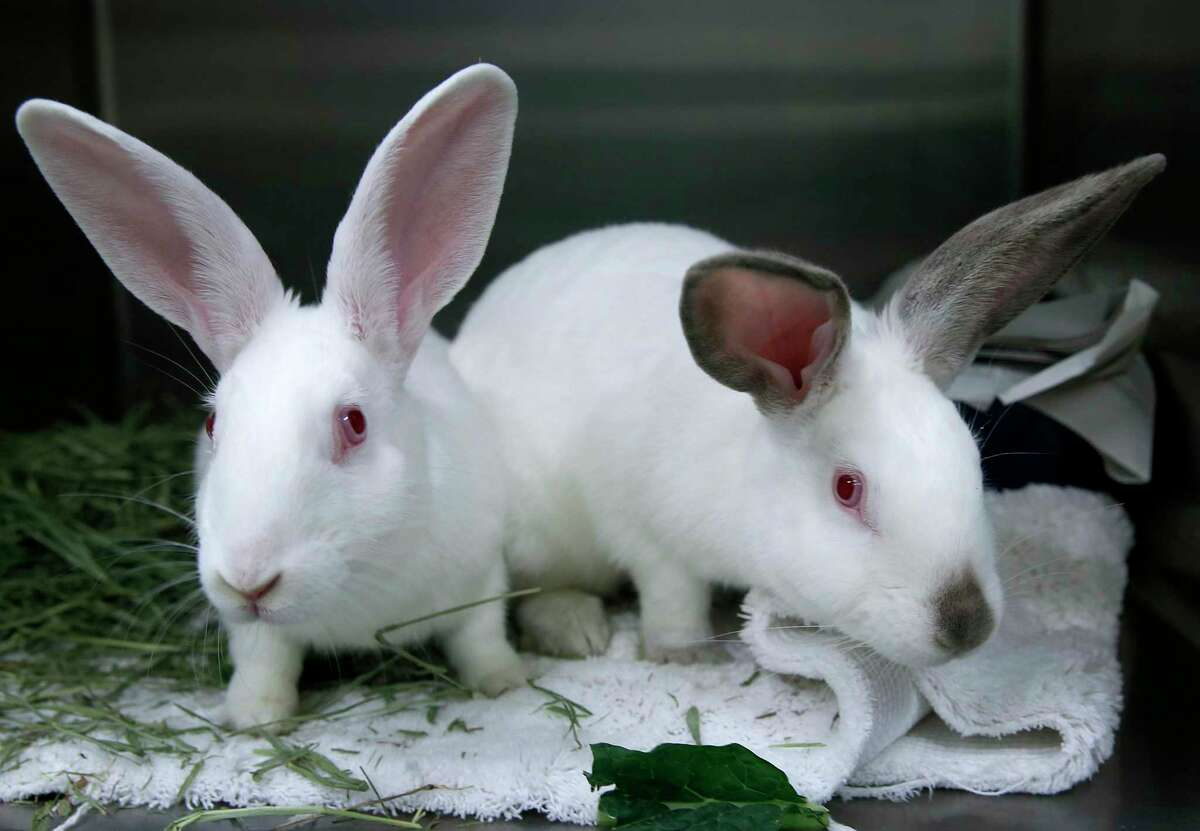 A pair of white bunnies await adoption at Animal Care and Control in San Francisco, Calif. on Wednesday, April 19, 2017. Animal control officers seized 43 rabbits from a breeder in January who was selling them as pets or as meat and are now up for adoption for $19.67 each.