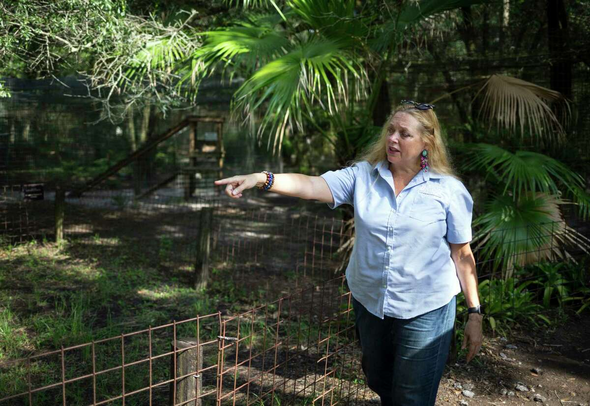 FILE - In this July 20, 2017 file photo, Carole Baskin, founder of Big Cat Rescue, walks the property near Tampa, Fla. Baskin was married to Jack a€œDona€ Lewis, whose 1997 disappearance remains unsolved and is the subject of a new Netflix series a€œTiger King.a€ (Loren Elliott/Tampa Bay Times via AP, File)