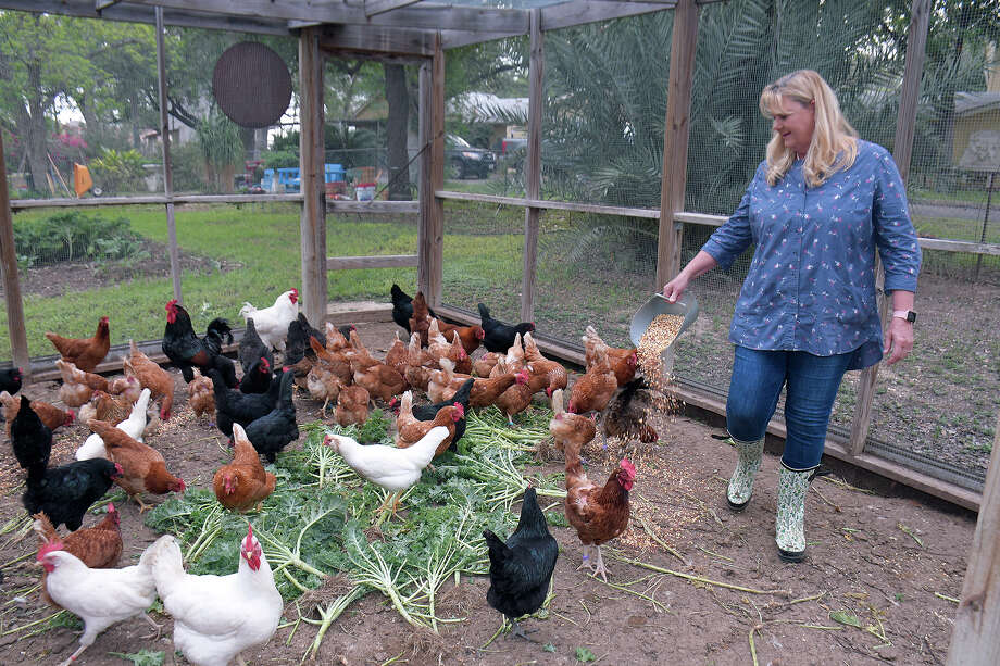Tracy Mapus feeds the chickens in the chicken coop, Saturday, March 28,2020. Tracy and her husband George grow produce, raise chickens for their eggs for sale at local Farmers Markets and on their website. The Mapus' also harvest honey, that is also sold, from beehives they have at the La Gorra Azul Ranch. Photo: Cuate Santos/Laredo Morning Times