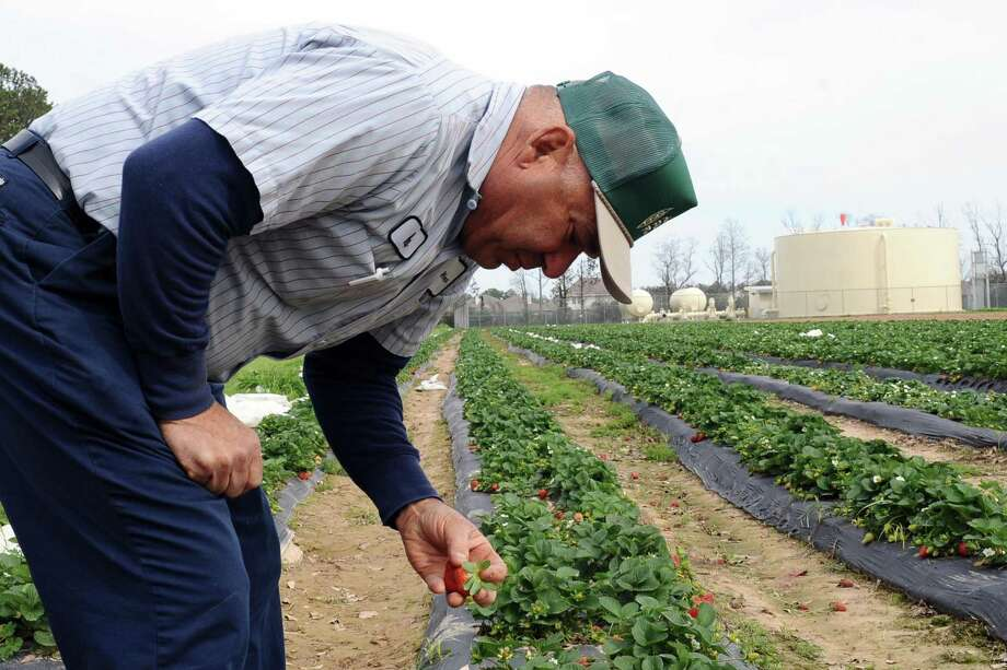 Mike Atkinson, a third generation family farmer who runs the 100-plus acre Atikinson Farms in Spring, inspects a row of strawberry plants in July 2017. Photo: KIRK SIDES / HCN / HCN