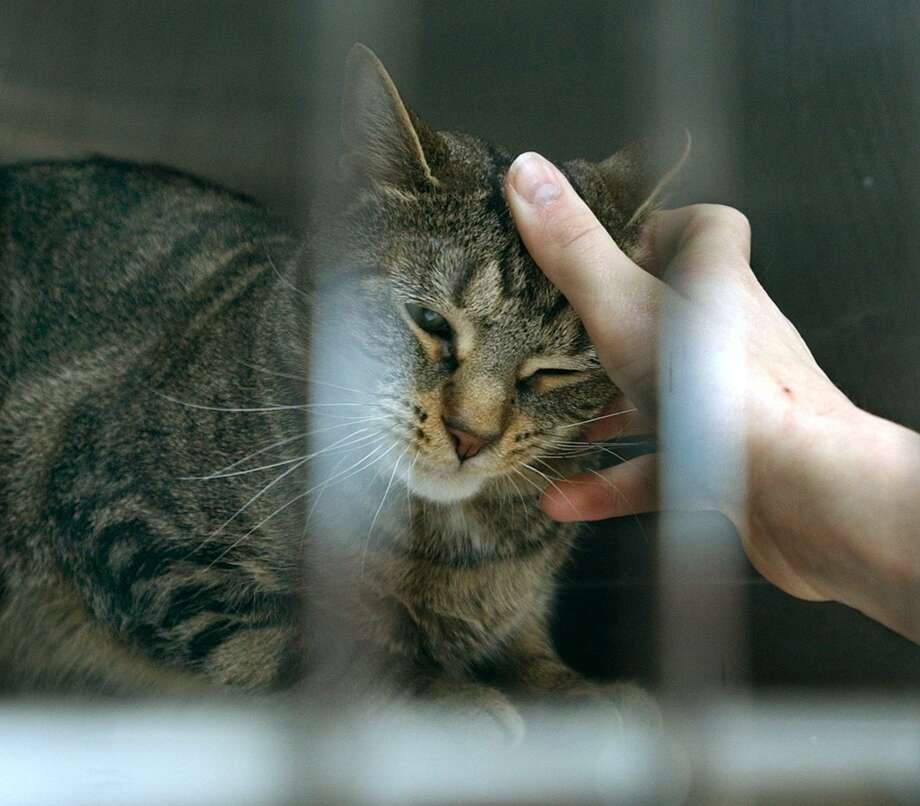 """Becky Gruber , 14, gives an effectionate rub to """"Bridget"""" , a Tabby cat whose cage she just finished cleaning ( at the Animal Welfare Society Inc. in New Milford where she volunteers) Photo: File Photo\Carol Kaliff / File Photo / The News-Times File Photo"""