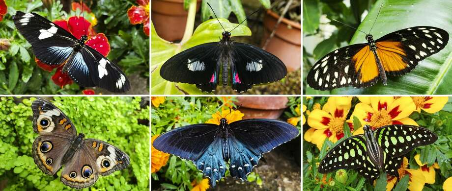 The conservatory at Dow Gardens is now full of a wide, beautiful array of butterflies from across the globe. Clockwise from top left, they are a Doris longwing, a cattleheart, a hecale longwing, a tailed jay, a pipevine swallowtail and a buckeye. (Photos provided/Elly Maxwell) Photo: (Photos Provided/Elly Maxwell)