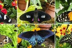 The conservatory at Dow Gardens is now full of a wide, beautiful array of butterflies from across the globe. Clockwise from top left, they are a Doris longwing, a cattleheart, a hecale longwing, a tailed jay, a pipevine swallowtail and a buckeye. (Photos provided/Elly Maxwell)