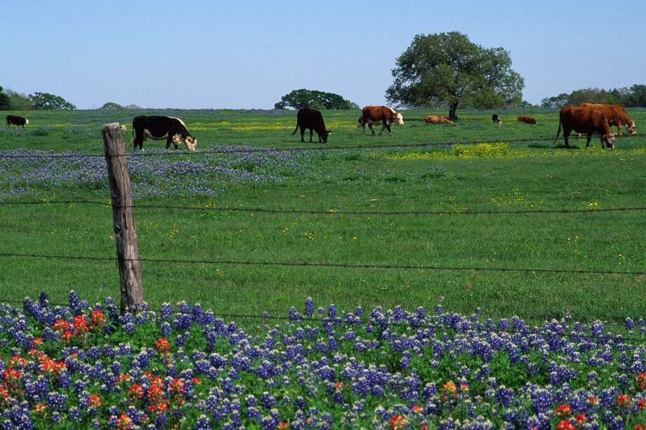 Nothing says Texas better than bluebonnets in spring. Photo: Photo By Ashley Crum