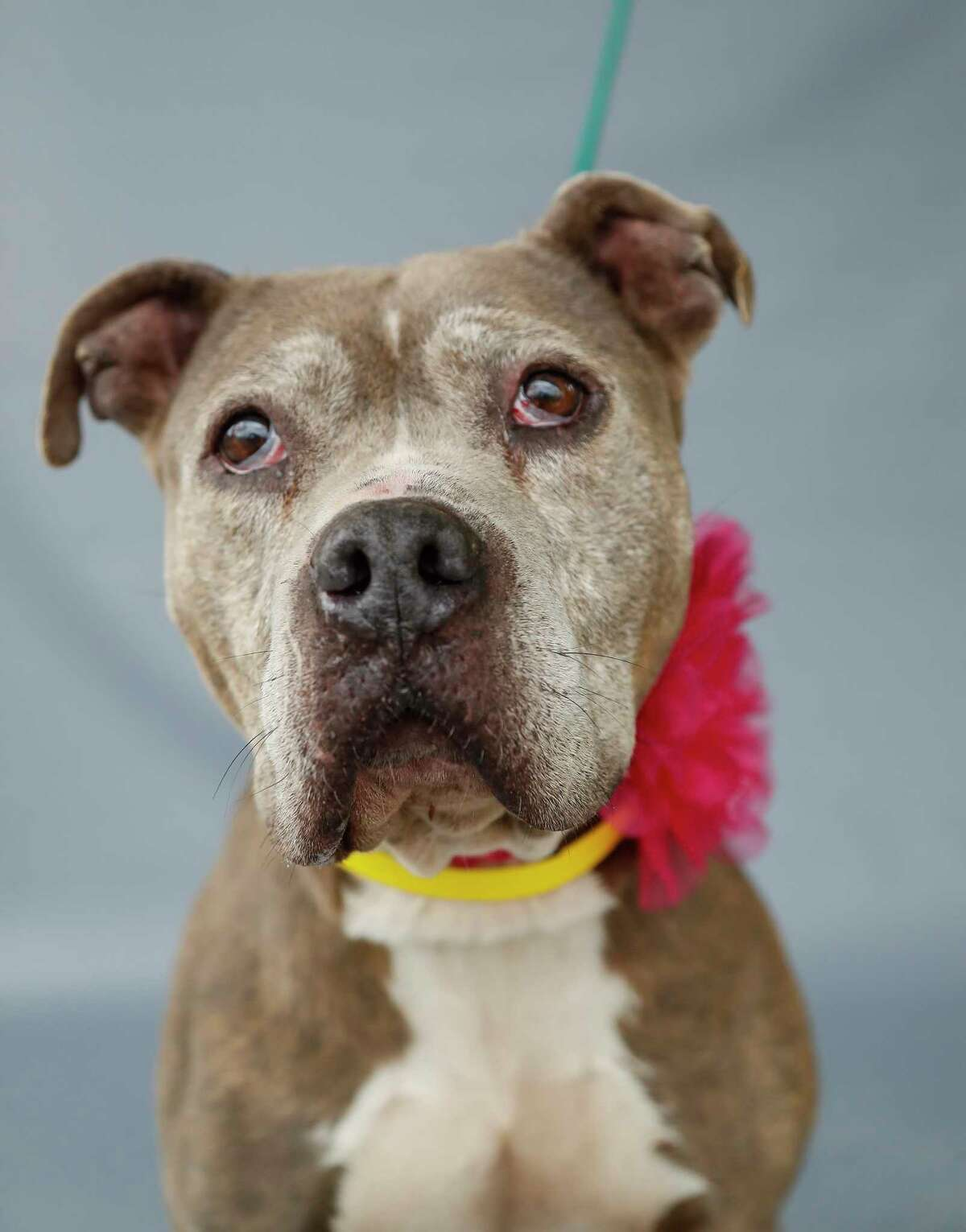 Petunia (A552842) is a 7-year-old, female, brindle/white Pit Bull mix available for adoption from the Harris County Animal Shelter in Houston,Thursday, April 2, 2020. Petunia is a sweet girl with the most adorable face. She loves treats and being loved on. She was brought in as one of seven pets that were received by the shelter on March 27 after their owner was arrested on criminal charges unrelated to animal cruelty. She is among many of the larger, older dogs at the shelter that are in need of temporary or forever homes. She is a healthy, good-natured dog that is available for adoption and in need of a responsible pet-lover, who has the capacity to care for her.