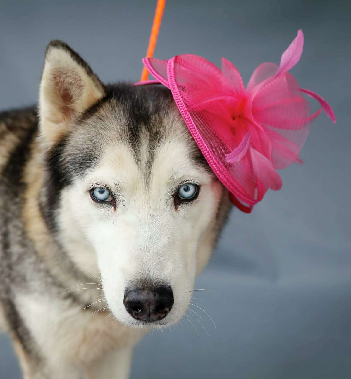 Juno (A552834) is a 3-year-old, female, Siberian Husky mix available for adoption from the Harris County Animal Shelter in Houston,Thursday, April 2, 2020. Juno is a very sweet, chill dog. Juno was brought in as one of seven pets that were received by the shelter on March 27 after their owner was arrested on criminal charges unrelated to animal cruelty. She is among many of the larger, older dogs at the shelter that are in need of temporary or forever homes. She is a healthy, good-natured dog that is available for adoption and in need of a responsible pet-lover, who has the capacity to care for her.