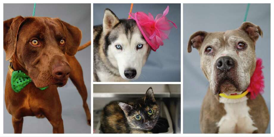 Rocco (left:A552905) is a 1-year-old, male, Weimaraner mix; Juno (top:A552834) is a 3-year-old, female, Siberian Husky; Coco (bottom:A552850) is a 2-year-old, female, Calico cat; and Petunia (A552842) is a 7-year-old, female, brindle/white Pit Bull mix are all available for adoption from the Harris County Animal Shelter in Houston,Thursday, April 2, 2020. Rocco was brought into the shelter as a stray, but he has an energetic and outgoing personality, and is very handsome! Photo: Karen Warren, Staff Photographer / © 2020 Houston Chronicle