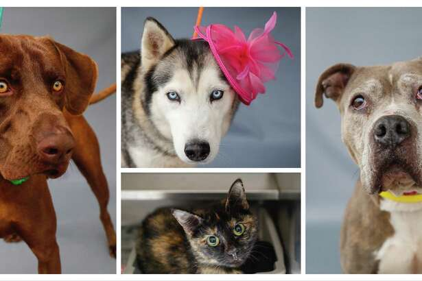 Rocco (left:A552905) is a 1-year-old, male, Weimaraner mix; Juno (top:A552834) is a 3-year-old, female, Siberian Husky; Coco (bottom:A552850) is a 2-year-old, female, Calico cat; and Petunia (A552842) is a 7-year-old, female, brindle/white Pit Bull mix are all available for adoption from the Harris County Animal Shelter in Houston,Thursday, April 2, 2020. Rocco was brought into the shelter as a stray, but he has an energetic and outgoing personality, and is very handsome!