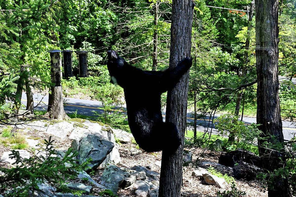 Black bear seen on Carmen Hill Road in Brookfield, Conn., on Aug. 29, 2018. The division also urged residents to freeze food scraps until trash day and add ammonia to the trash bags to lessen the smell to bears. Feed for livestock or pets should not be stored outside, in a garage or on a porch. Food should never be left in a vehicle; bears are strong enough to break a car window. Be cautious about leaving doors open with only screens, the Wildlife Division suggested, adding that kitchen aromas can attract bears who can easily get through a thin screen. More tips about dealing with bears can be found on the DEEP website. In the rare case that a bear appears to be aggressive toward people, residents should immediately call DEEP's 24-hour dispatch line at 860-424-3333.