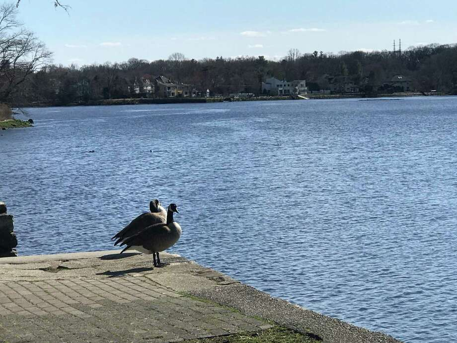 Geese enjoying the view of the Saugatuck River on March 24, 2020, in Westport. Photo: DJ Simmons /Hearst Connecticut Media /