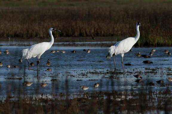Two whooping cranes waddle through a salt marsh near the Saint Charles Bay on Friday, March 6, 2020, in Rockport, Texas.