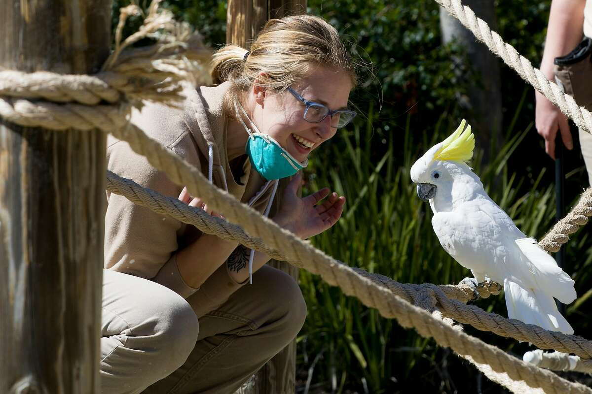 A zookeeper greets Jenny the cockatoo while on a walk at Oakland Zoo in Oakland, Calif. Thursday, April 2, 2020. Since the Bay Area's shelter-in-place order, Oakland Zoo has been closed to the public, but has started scheduling live video behind-the-scenes visits with various zoo animals.
