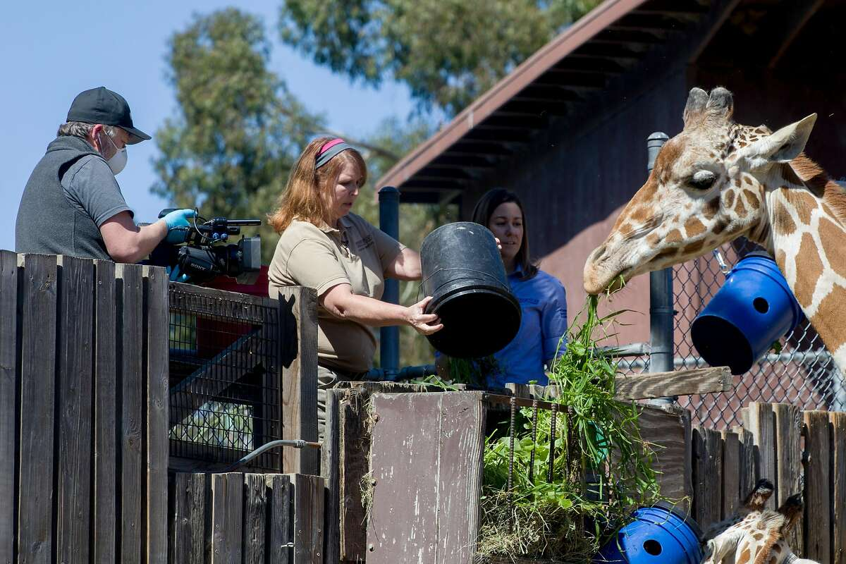 Cameraman Reuben Maness (left) films as Zoological manager Ann Marie Bisagno (center) and host Michelle Myers discuss facts about giraffes while feeding them during a subscription-based live stream broadcast held at Oakland Zoo in Oakland, Calif. Thursday, April 2, 2020. Since the Bay Area's shelter-in-place order, Oakland Zoo has been closed to the public, but has started scheduling live video behind-the-scenes visits with various zoo animals.