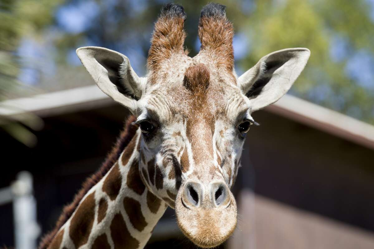 A giraffe poses for a portrait during a subscription-based live stream broadcast held at Oakland Zoo in Oakland, Calif. Thursday, April 2, 2020. Since the Bay Area's shelter-in-place order, Oakland Zoo has been closed to the public, but has started scheduling live video behind-the-scenes visits with various zoo animals.