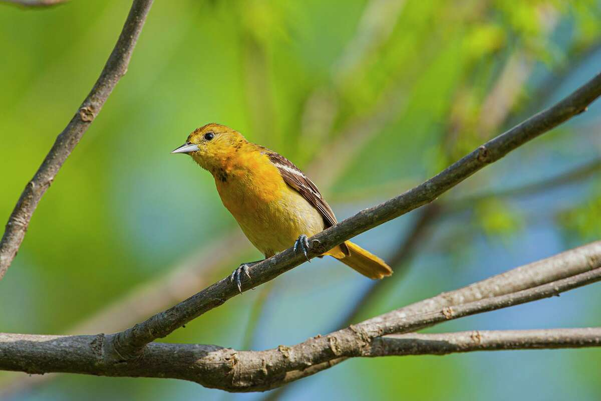 Look for migratory birds, like this female Baltimore oriole, in your backyard or on neighborhood walks.