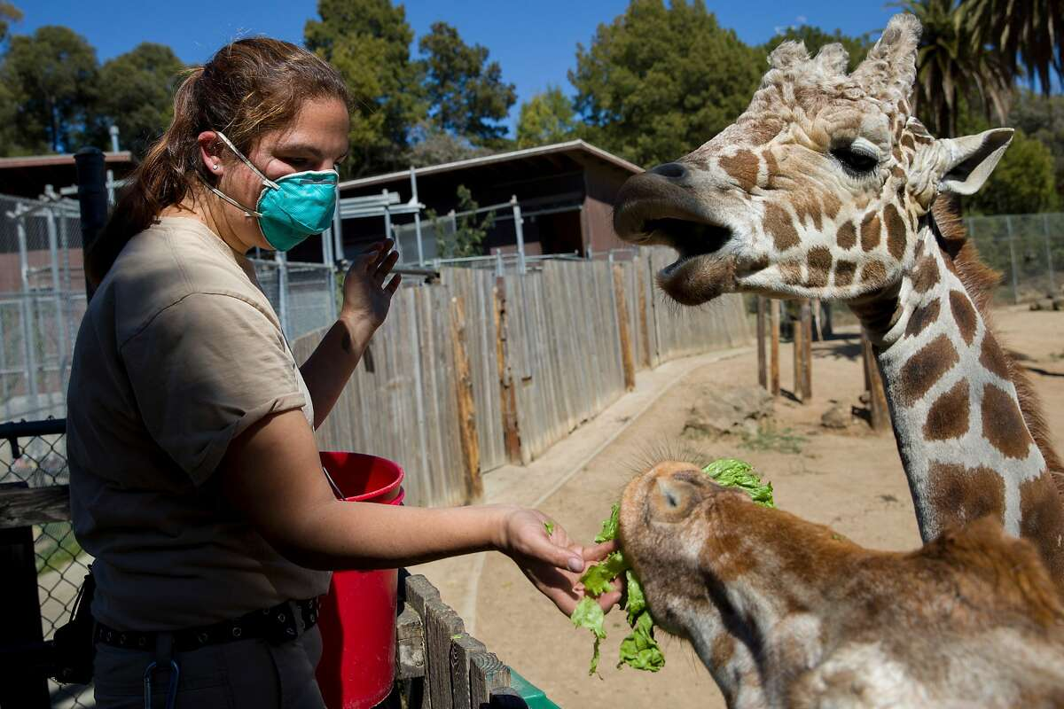 Senior zookeeper Leslie Reo feeds giraffes at the Oakland Zoo in April during the first shutdown order.