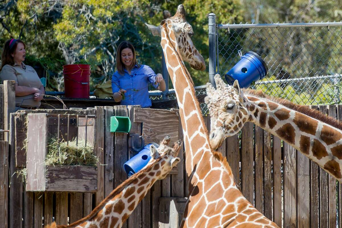 Zoological manager Ann Marie Bisagno (left) and host Michelle Myers discuss facts about giraffes while feeding them during a subscription-based live stream broadcast held at Oakland Zoo in Oakland, Calif. Thursday, April 2, 2020. Since the Bay Area's shelter-in-place order, Oakland Zoo has been closed to the public, but has started scheduling live video behind-the-scenes visits with various zoo animals.