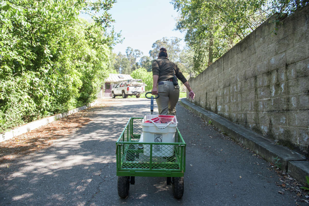 Liz Abraml, the lead keeper at the zoo, carts prepared food over to the otter exhibit.